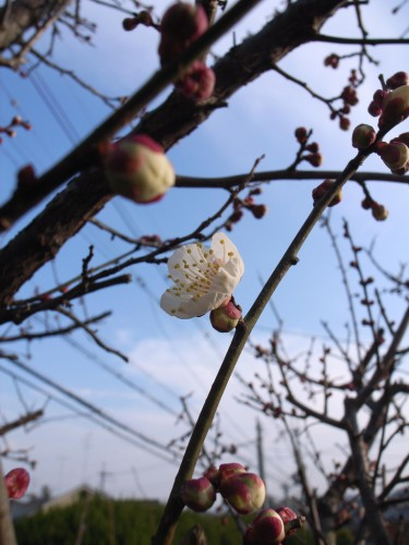 The Tao of the Plum Blossoms